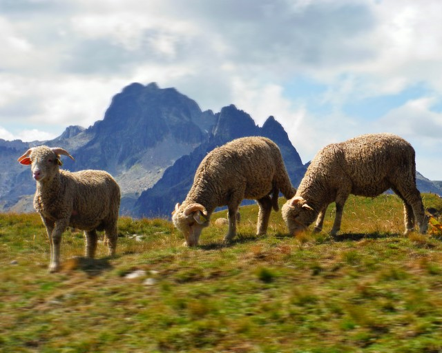 Herds of sheep and patous