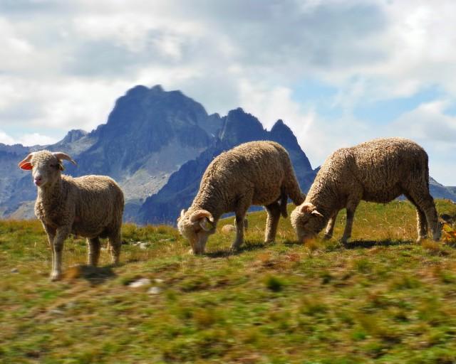 Troupeaux de moutons et patous
